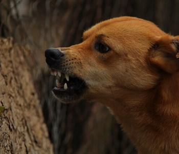 Aggression hos hunde │Netdyredoktor