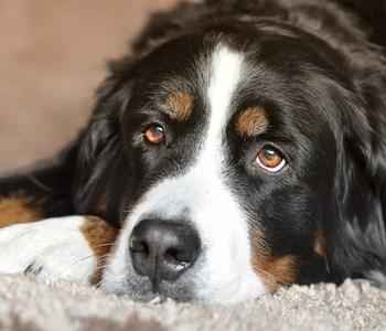 hunden har diarre