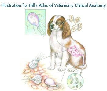 Giardia and Diarrhea in Dogs - Mammal Doctor
